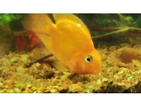 Natural Gold/Pink blood Parrot Cichlid Live aquarium Fish