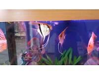 Angelfish x6 cardinal tetra x26