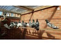 Pakistani pigeons for sale