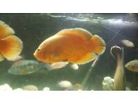 Oscar fish for sale
