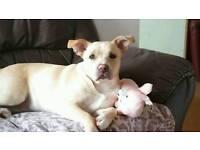 10 month oldStaff cross labrador