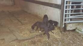 2 lurcher pups for sale