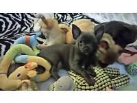 Chihuahua puppys 8 weeks