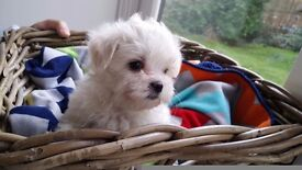 Teacup Maltese puppies 3 dogs and 1 bitch