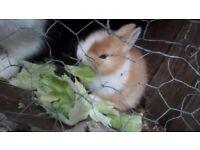 netherland baby rabbits