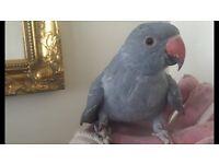Amazing healthy Ringneck Baby12wks Talking Parrot
