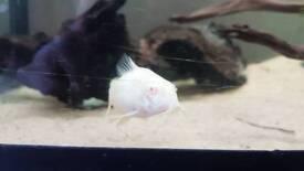 Cory fish