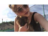 T cup pomeranian bitch puppy