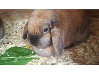 Mini lop adult rabbit pair