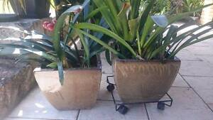 Plants and pots x 2 Willagee Melville Area Preview