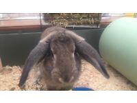 Bunny MALE for sale (all bedding/accessories included in price)