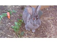 Cute grey female rabbit in need of home to hop about in- free to good home