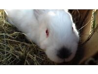 Beautiful Californian Bunny For sale