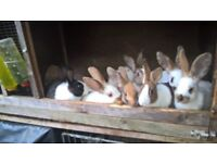 Rabbits Pure Bred for Sale £55.00 each (ovno) and £50.00 for the Black and White Dutch Rabbit (ovno)