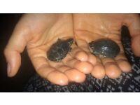 2 baby musk turtles