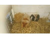 Texal Baby Guinea Pigs
