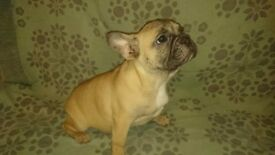 3 month old French Bulldogs for Sale - Vaccinated