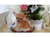 **** stunning kc registered smoothcoat chihuahua puppies for sale ****