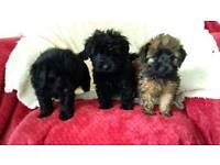 Beautiful multipoos puppies
