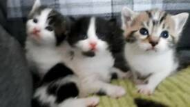 Beautiful black and white tabby kittens