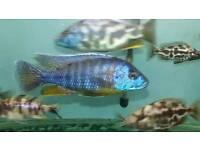 fish malawi peacock cichlid 4.5 inch £10.