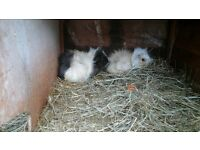 Gorgeous baby guinea pigs for sale
