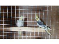 cockatiel adult bonded pair