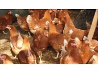 egg laying hens for sale