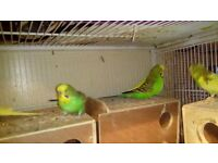 Canaries, Budgies and Lovebirds