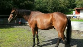 safe and sensible 16.2 gelding