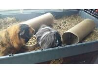 Guinea Pigs and Indoor Cage