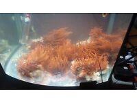 marine rose bubble tip anemone
