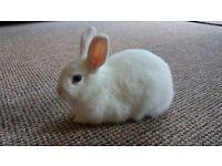Rabbit blue eye Netherland Drwarf