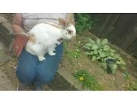 Giant papillon rabbit