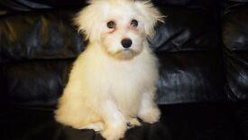 Gorgeous Maltese/Bichon Frise Female Pup For Sale