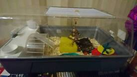 Roboski dwarf hamster and cage with accessories