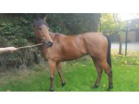 5yr old bay gelding thoroughbred for sale.