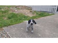 German Wirehaired Pointer Pups,