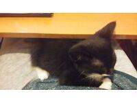 10 Week old Kitten Black & White