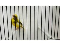 Canary cock for sale