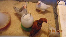 chick chickens 8 week old