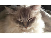 Ragdoll cat for sale