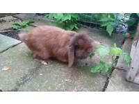Mini lop rabbit boy