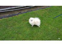 Pomeranian female white