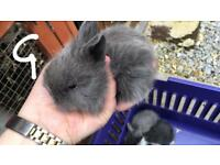 Pure lion head bunnies rabbits all now reserved