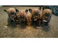 5 beautiful french bulldog puppies 2 girls 3 boys
