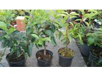 Portuguese laurel hedging potted