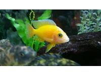 Pair of alunocara fire fish pair of african cichlid /malawi