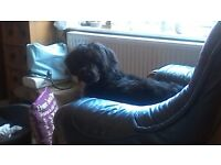Female black Labradoodle