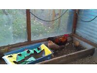 Phoenix/Yokohama Chickens